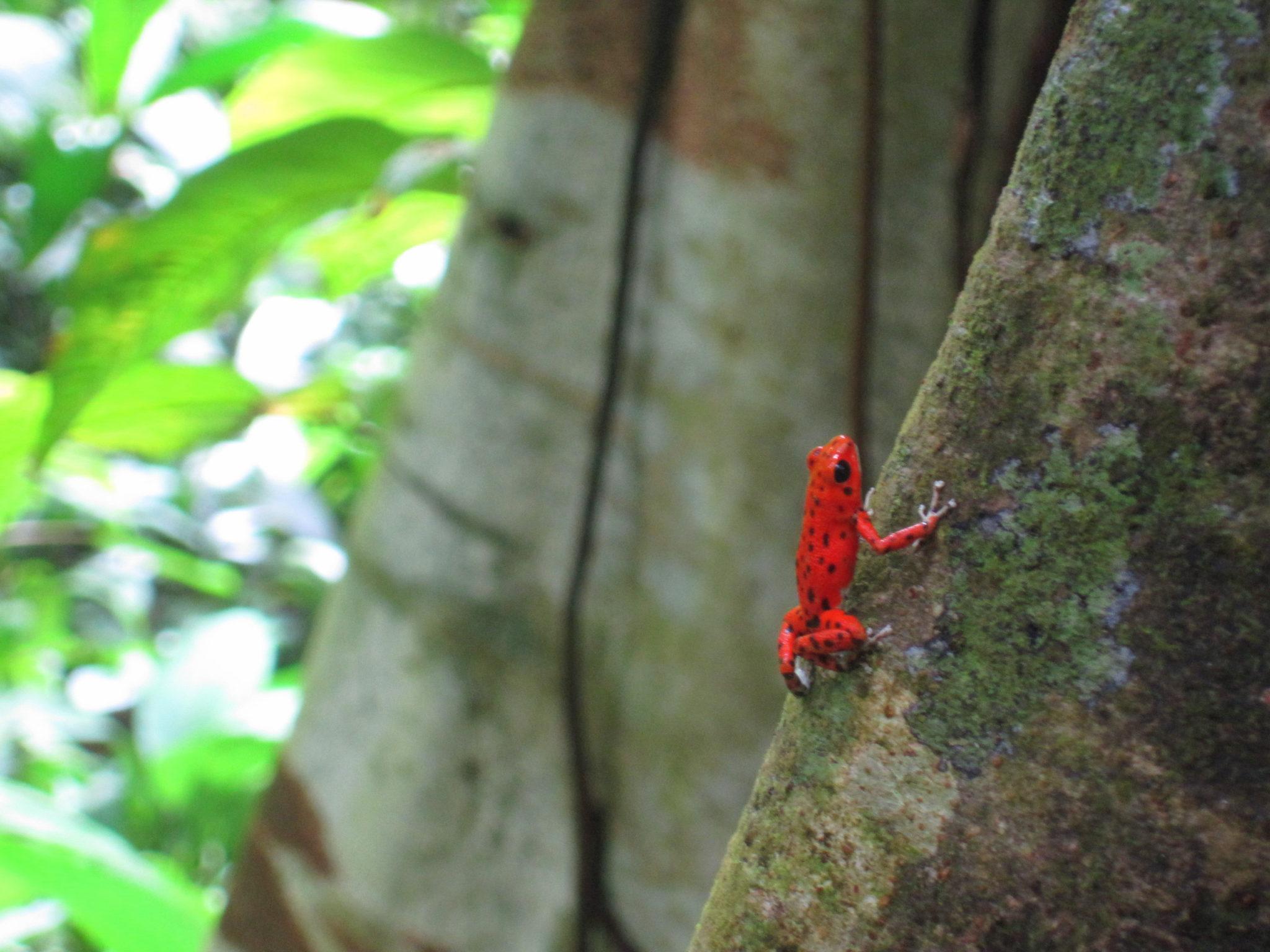 Red Tree Frog Panama