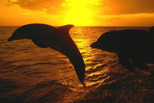 Dolphin Swimming Panama