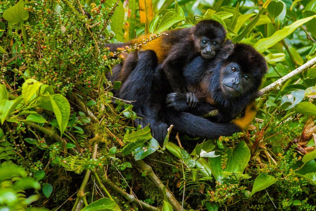 Cr Monkeys Central America Journeys