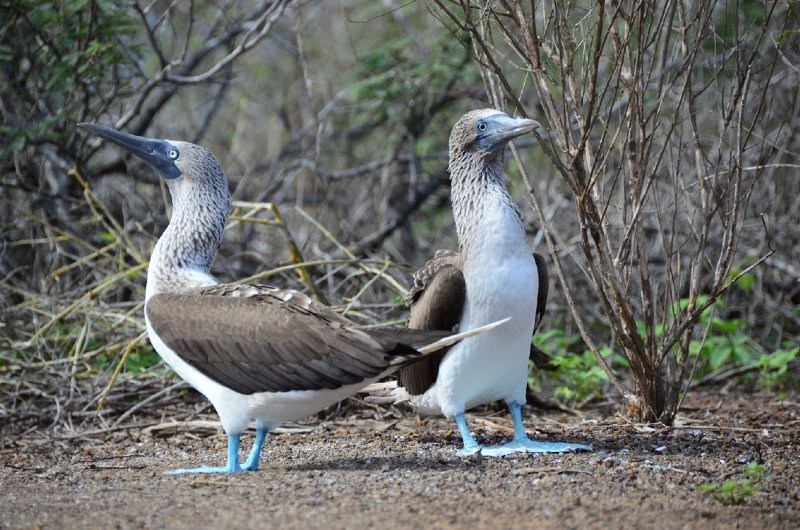 The blue footed booby showing off its footwear