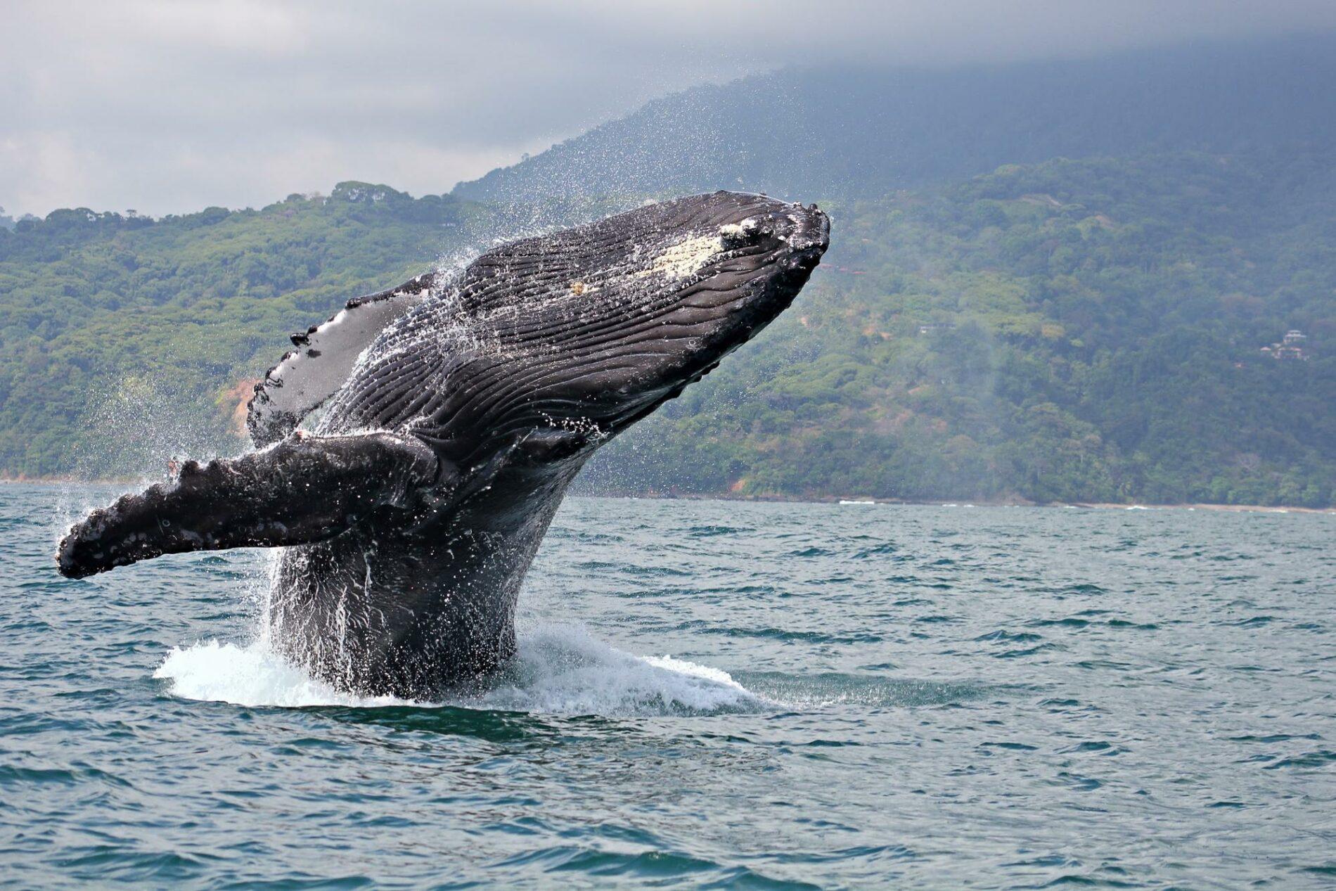 Humpback Whale breaching in the Pearl Islands, Panama