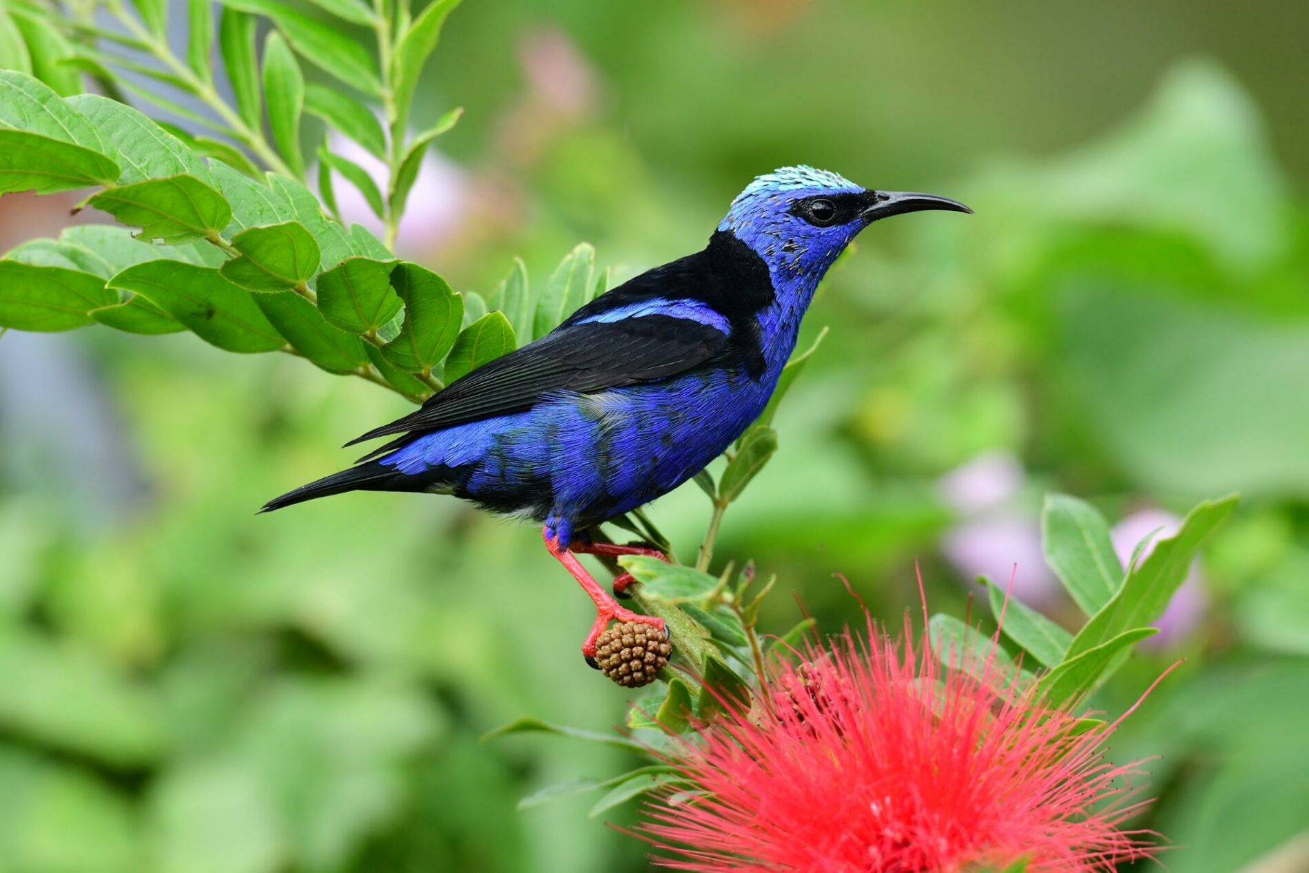 Red-Legged Honeycreeper perched on a red bottle brush flower