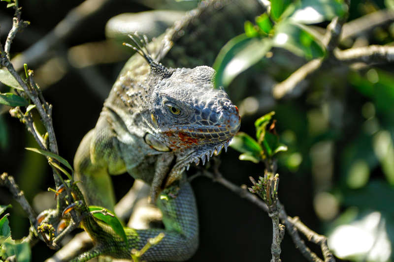 Green iguana relaxing in the Guanacaste National Forest